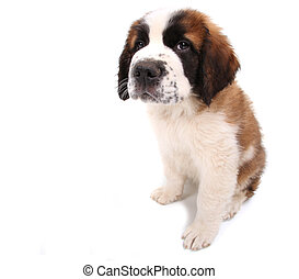 Puppy Looking Cute and Sad on White Background Sitting...