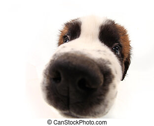 Curiosity of a Saint Bernard Puppy