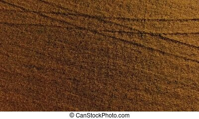 Buckwheat Field At Harvest Time - AERIAL VIEW. Zoom in shot...