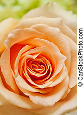 peach rose with side lighting background