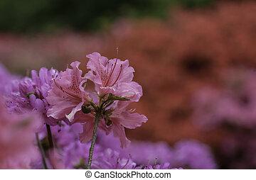Um, Bush, com, flores, Cor-de-rosa, florescer,...