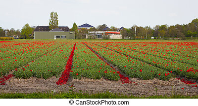 Red tulips on a sunny field in spring