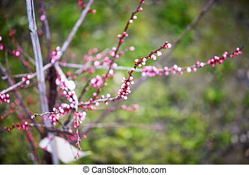 Peach rose buds over peach trees, shallow DOF, horizontal...