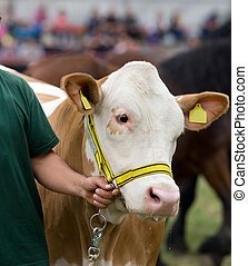 Cow at exhibition - Close up of male hand leading Simmental...