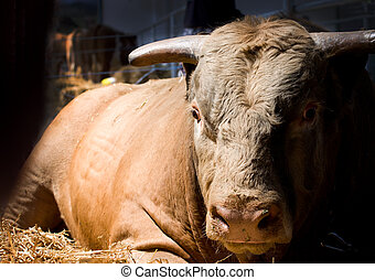 Massive bull - Close up of massive bull lying on straw in...