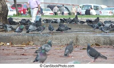 Dove birds in the city People are walking on background