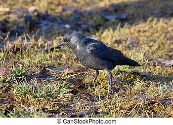 jackdaw close up on a spring grass