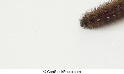Bear caterpillar on white background
