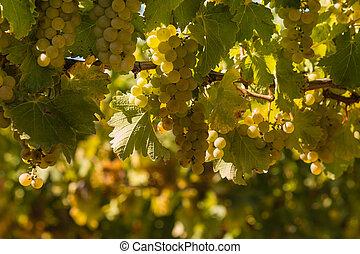 ripe Sauvignon blanc grapes - closeup of ripe Sauvignon...