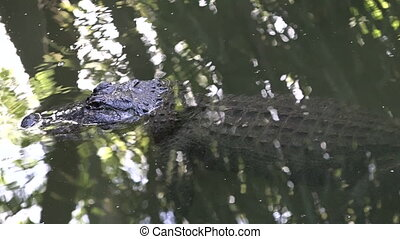 American alligator up close in the water - American...