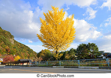 ginko - golden ginko tree in autumn