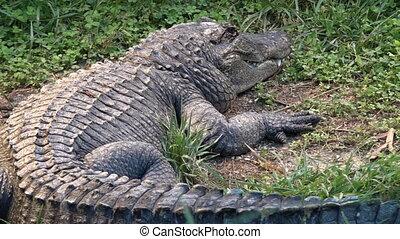 American Alligator - American alligator, a large crocodilian...