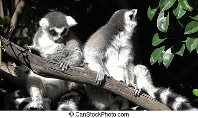 Two Ring-tailed lemur sit on a tree branch.The ring-tailed...