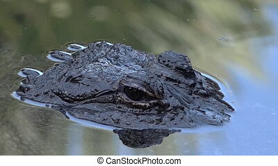 American alligator up close and personal in the water.It's a...