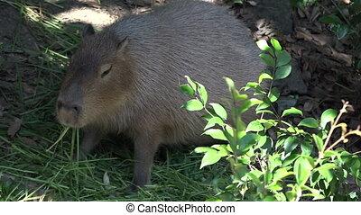 Capybara Hydrochoerus hydrochaeris eats grass The capybara...
