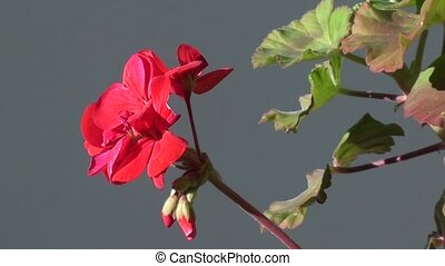 Geranium flower zoom out - Geranium flower on sun outdoors,...