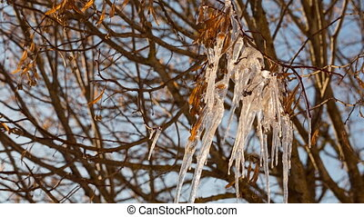 Icicles hang down from a branch of a tree and slowly shake...