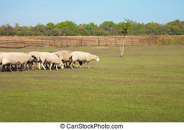 Flock of sheep grazing in the meadow - A flock of sheep...