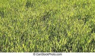 Green mature lush grass at meadow - Green mature lush grass...