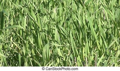 Green grass zoom out - Green mature lush grass, zoom out