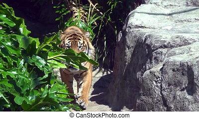 Sumatran Tiger (Panthera tigris sumatrae) walks. Sumatran...