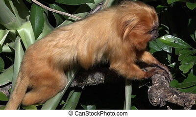 A golden lion tamarinThe golden lion tamarin is an...