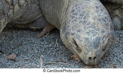 Galapagos tortoise. Today, giant tortoises exist only on two...