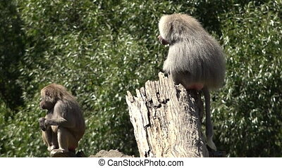 Male and female Hamadryas baboon sit on a tree logs, native...