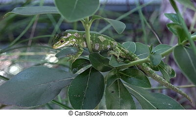 Auckland green gecko. In 2012 the Department of Conservation...