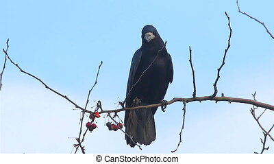 Rook sitting tree eating berry - Rook bird which is a type...