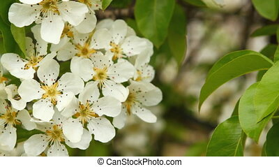 Flowering branch of pear tree swaying in the wind HD