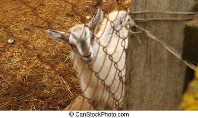 small goat looking at the camera from behind a grid