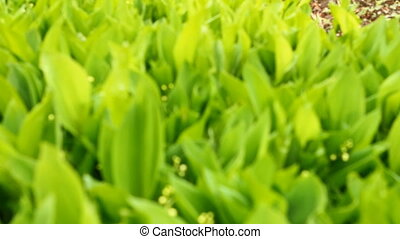 camera moves along the field lilies of the valley
