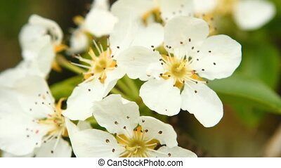 Flowering branch of pear tree swaying in the wind