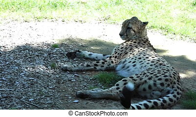 South African Cheetah relaxing in the Savannah - South...