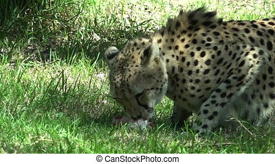 South African Cheetah eating prey in the Savannah.The...