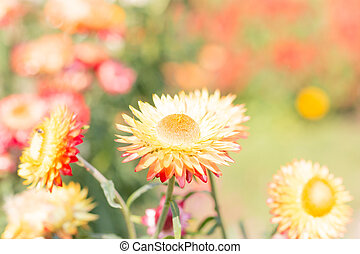 Beautiful flower Strawflower Everlasting with soft filter...