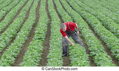 Farmer inspect soybean field - Farmer inspect quality of...
