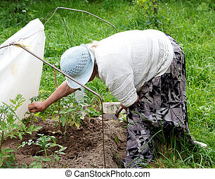 grandmother cultivated tomatoes in the garden