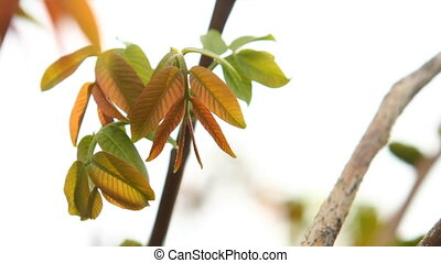 leaves on the branch hazel swaying in the wind - young...
