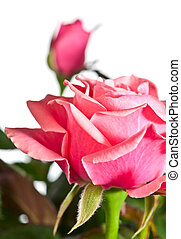 blossoming rose plant - Beautiful rose flowers isolated on...