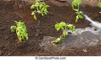 young tomato seedlings watered with a hose HD