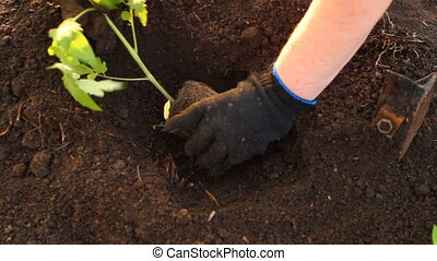 woman in tomato seedlings are planted flower bed HD