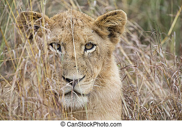 Lioness move in brown grass to kill - Lioness move in brown...