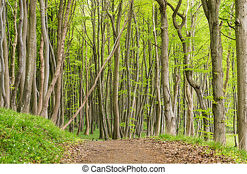 Coastal forest on the island Ruegen (Germany).