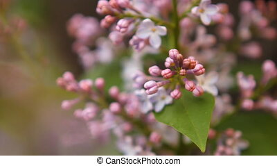 blooming lilac swaying in the wind HD