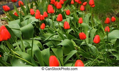 a lot of tulips in a bed swaying in the wind HD