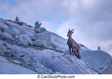 goats - Wild mountain goat in Alps rock