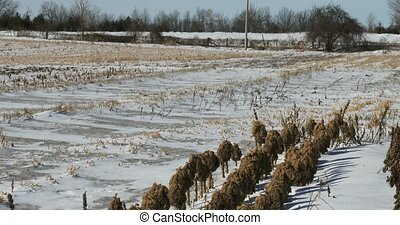 Kale leftovers in snowy field - Kale leftovers in organic...