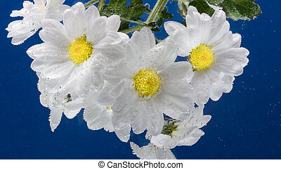 drops of dew on a camomile